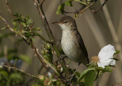 warbler wildlife nature otmoor