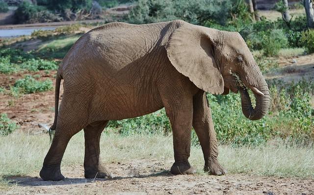 Elephant Enjoying Some Grass  (Loxodonta africana)
