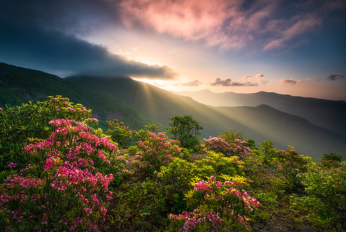 northcarolina asheville nc blueridgeparkway mountains scenic springflowers laurel mountainlaurel rhododendron spring flowers sunrise landscape explore outdoors nature photography craggygardens nikon d800 appalachian summer sceniclandscape outdoor travel