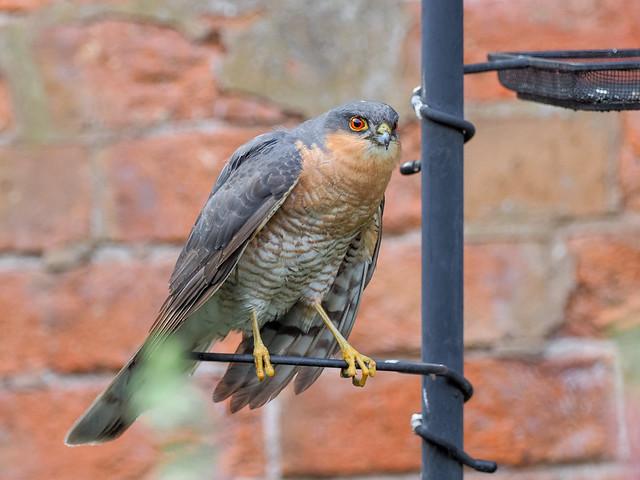 Sparrowhawk In Garden