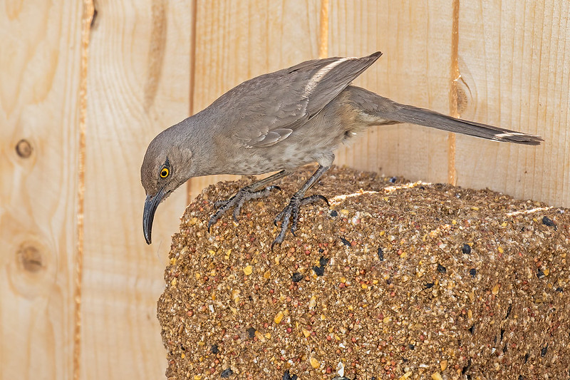 Curve-billed-Thrasher-4-7D2-061420