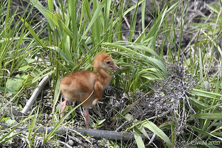 Sandhill crane colt hoping for a little worm to eat