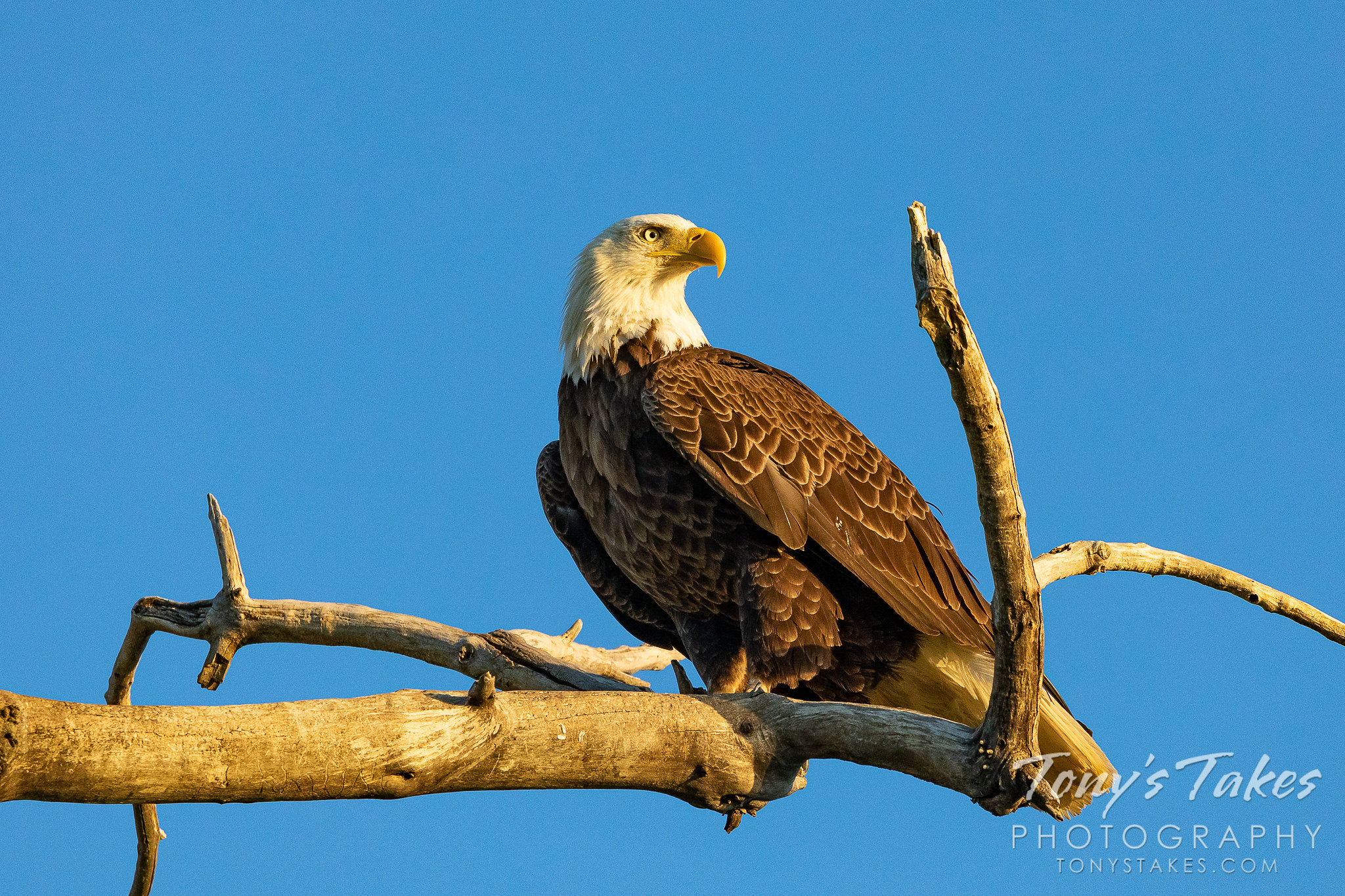 Bald eagle in dawn's early light