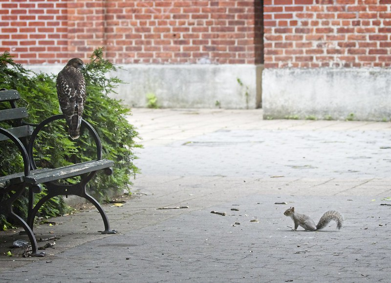 Tompkins Square red-tail fledgling eyes a squirrel