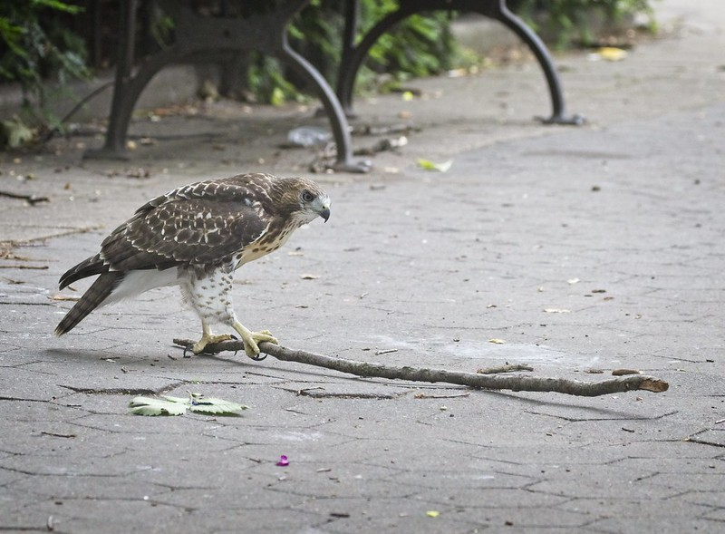 Tompkins Square red-tail fledgling captures a stick