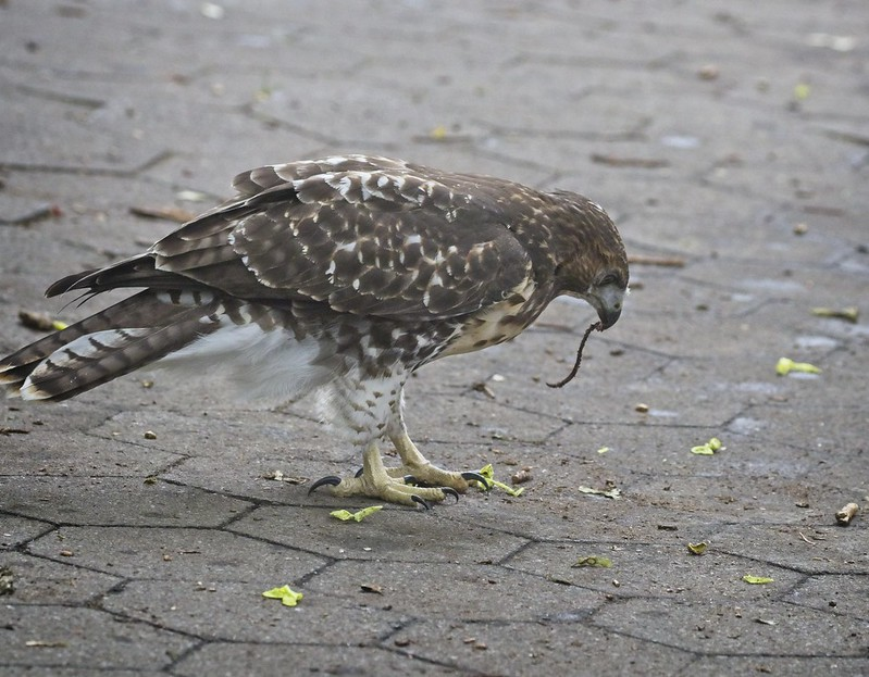 Tompkins Square red-tail fledgling eats an earthworm