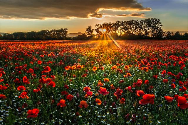 Sunpoppies • Sonnenmohn