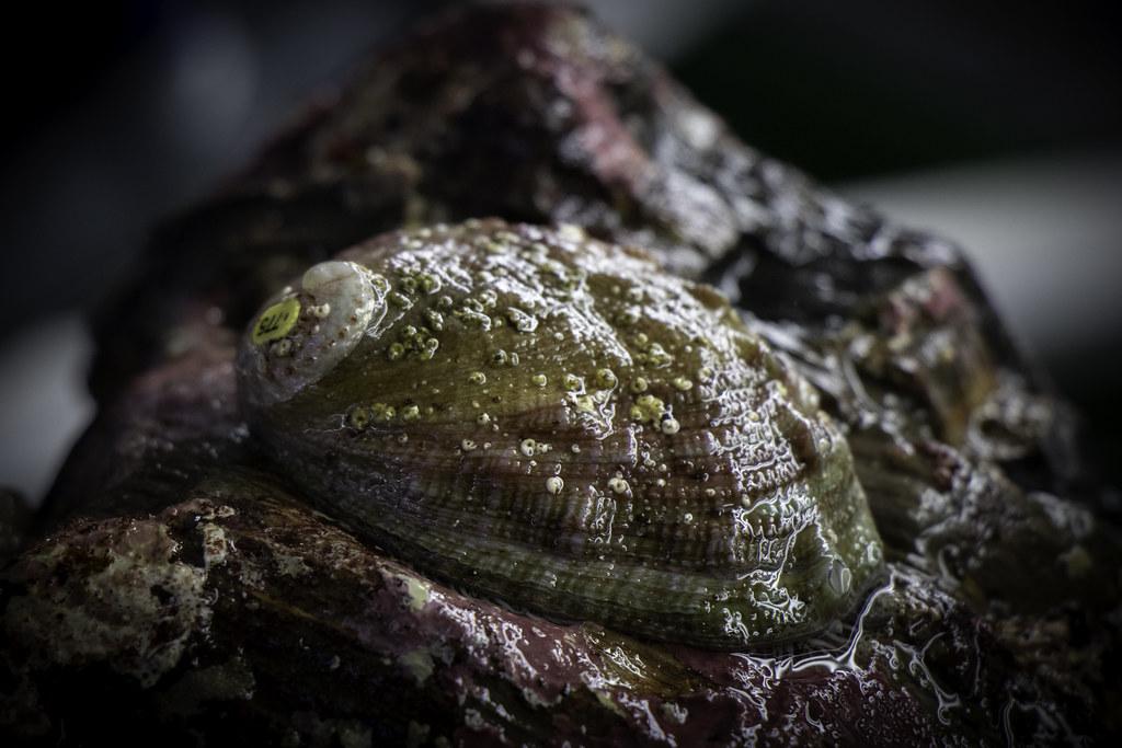 photo of white abalone