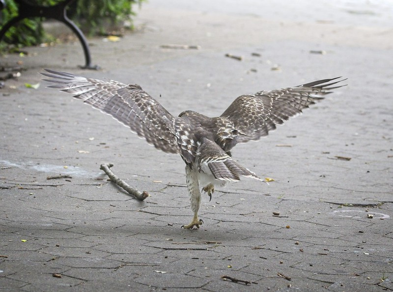 Tompkins Square red-tail fledgling chases a stick