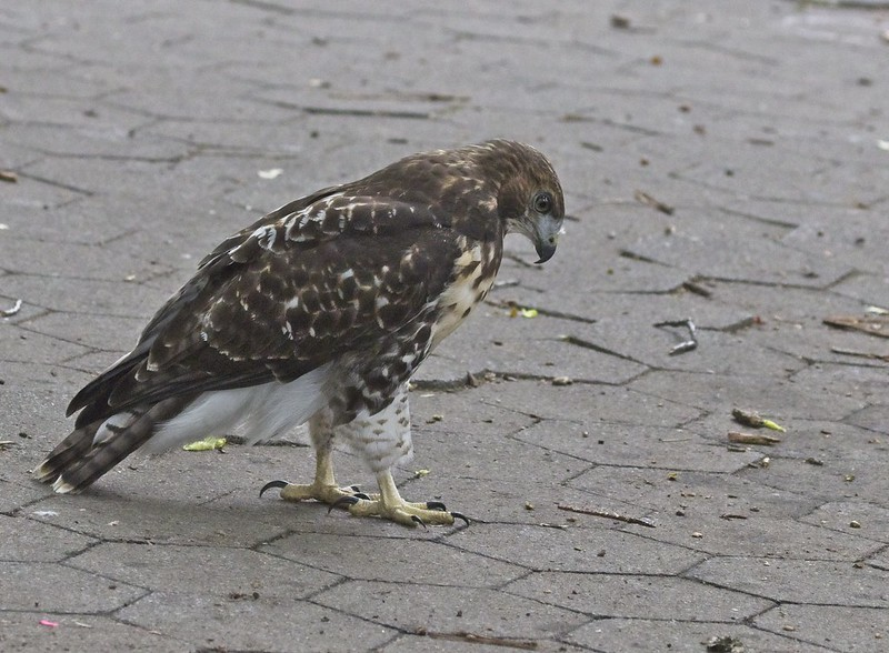 Tompkins Square red-tail fledgling watches an earthworm