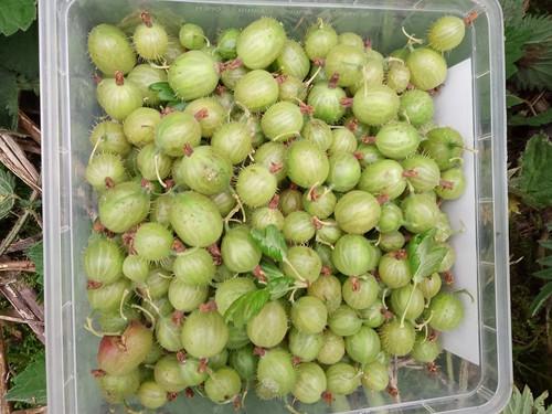 gooseberries June 20 1
