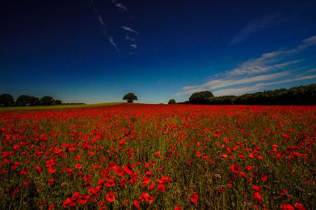 Mohnblumenfeld - Poppy field