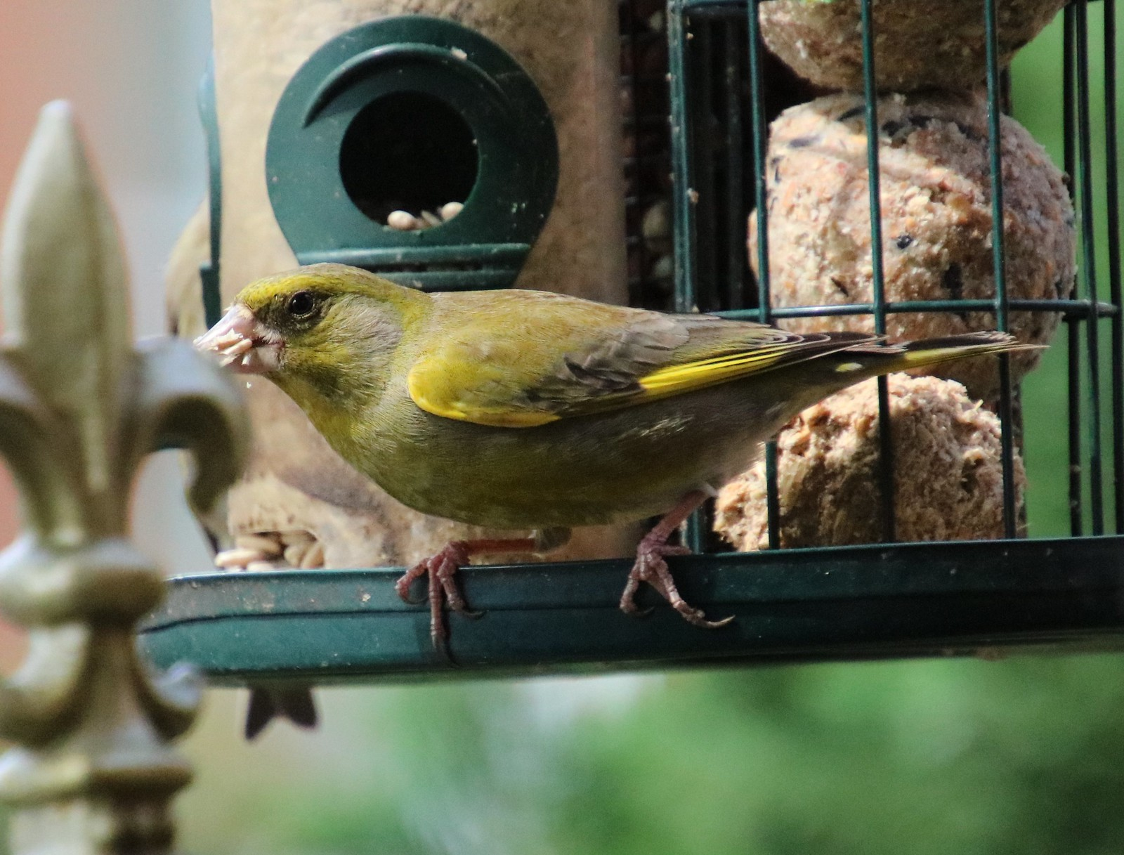 Greenfinch, Bedford 20200504 (3)