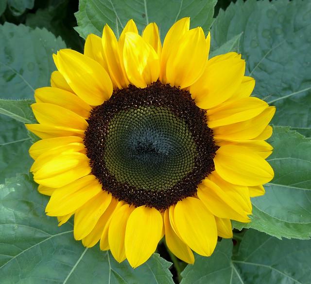 Mini Sunflower (Explored)