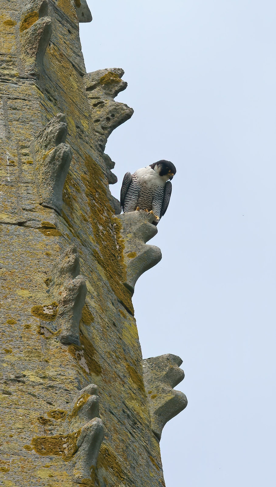 A day with Peregrines
