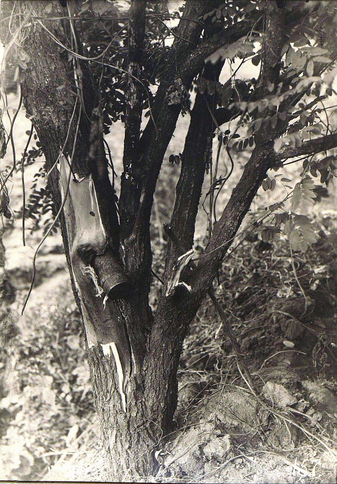 13. Артиллерийский снаряд, застрявший в дереве. 1915