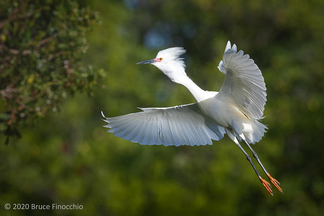 Snowy Egret In Breeding Plumage Comes In For A Landing