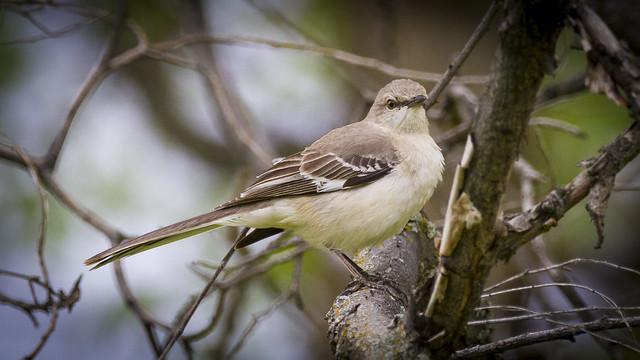 Northern Mockingbird (Mimus polyglotts)