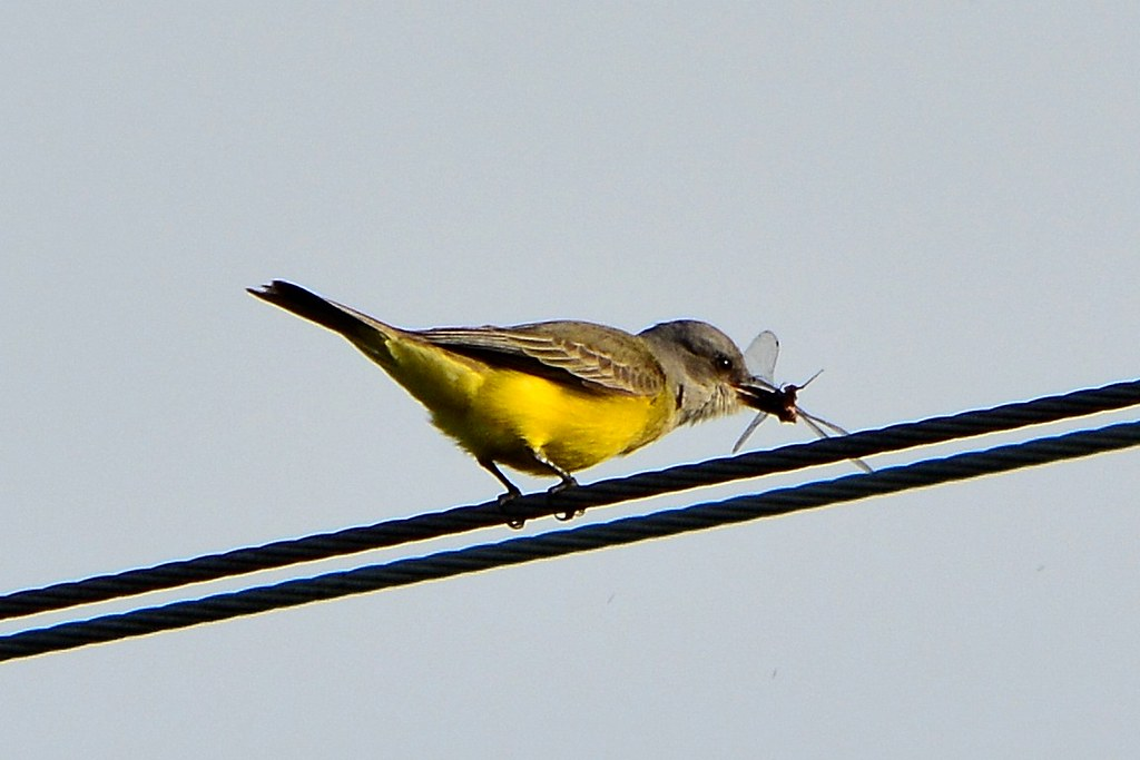33za Prey/meal - Tropical Kingbird catches a draogonfly