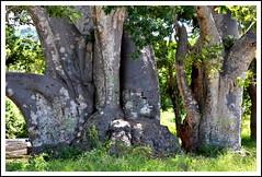 Baobab africain (Adansonia digitata)