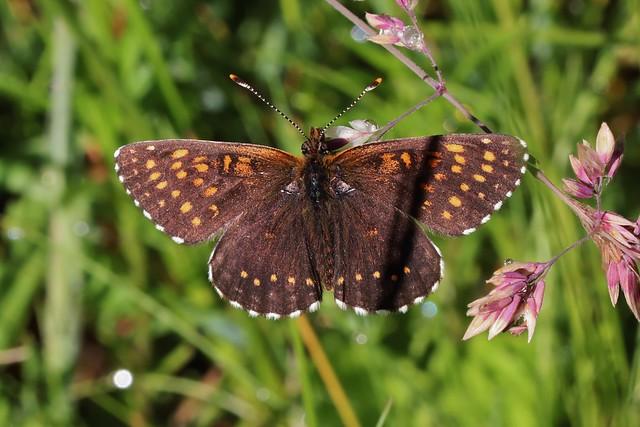 Melitaea athalia - Gemeiner Scheckenfalter