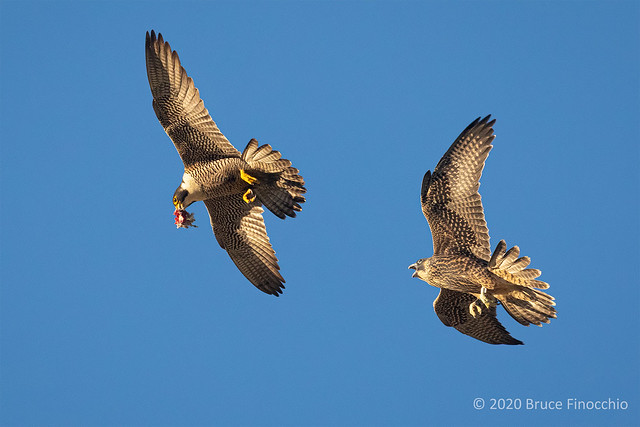 Juvenile And Recently Fledge Peregrine Falcon Chases Parent With Food In Its Beak