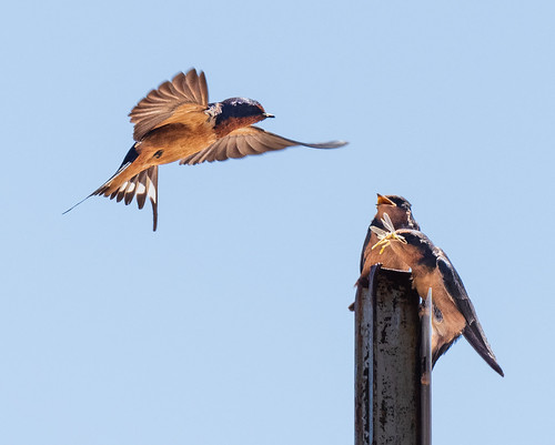 barn_swallows-20200616-101