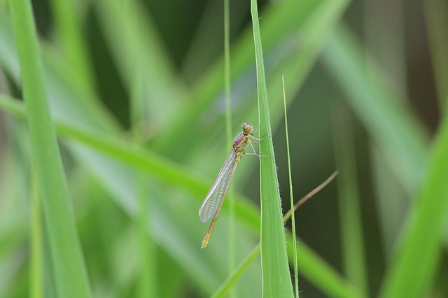 Emerging damselfly