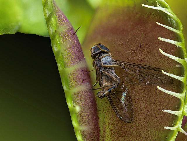 Hoverfly in venus fly-trap