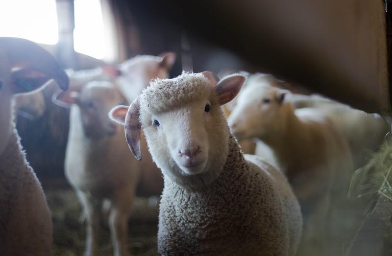 agriculture-animals-baby-blur-288621