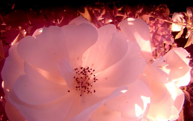 ROSE rose ancienne-contre-jour - Monsegur-Landes.