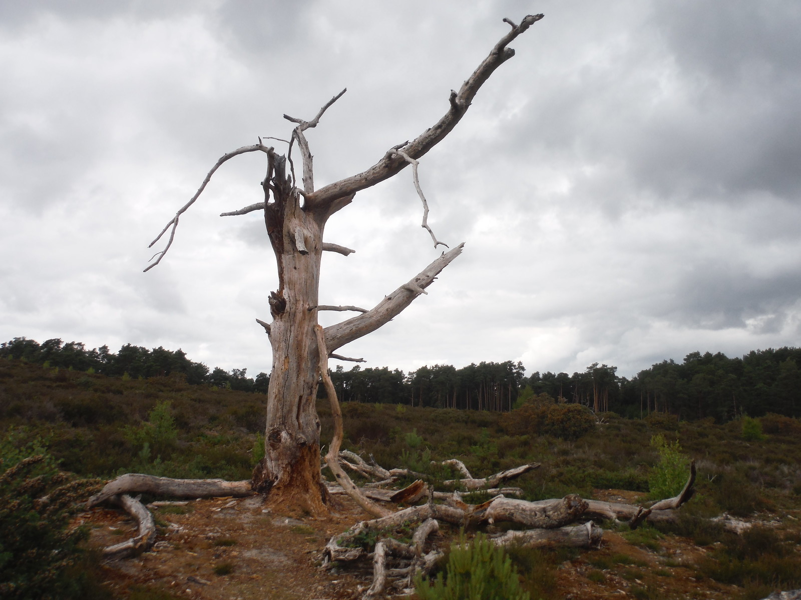 Remarkable Dead Tree, Frensham Common SWC Walk 184 - Bentley to Farnham