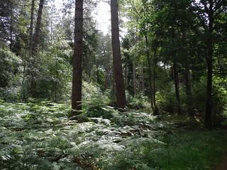 Alice Holt Forest SWC Walk 184 - Bentley to Farnham