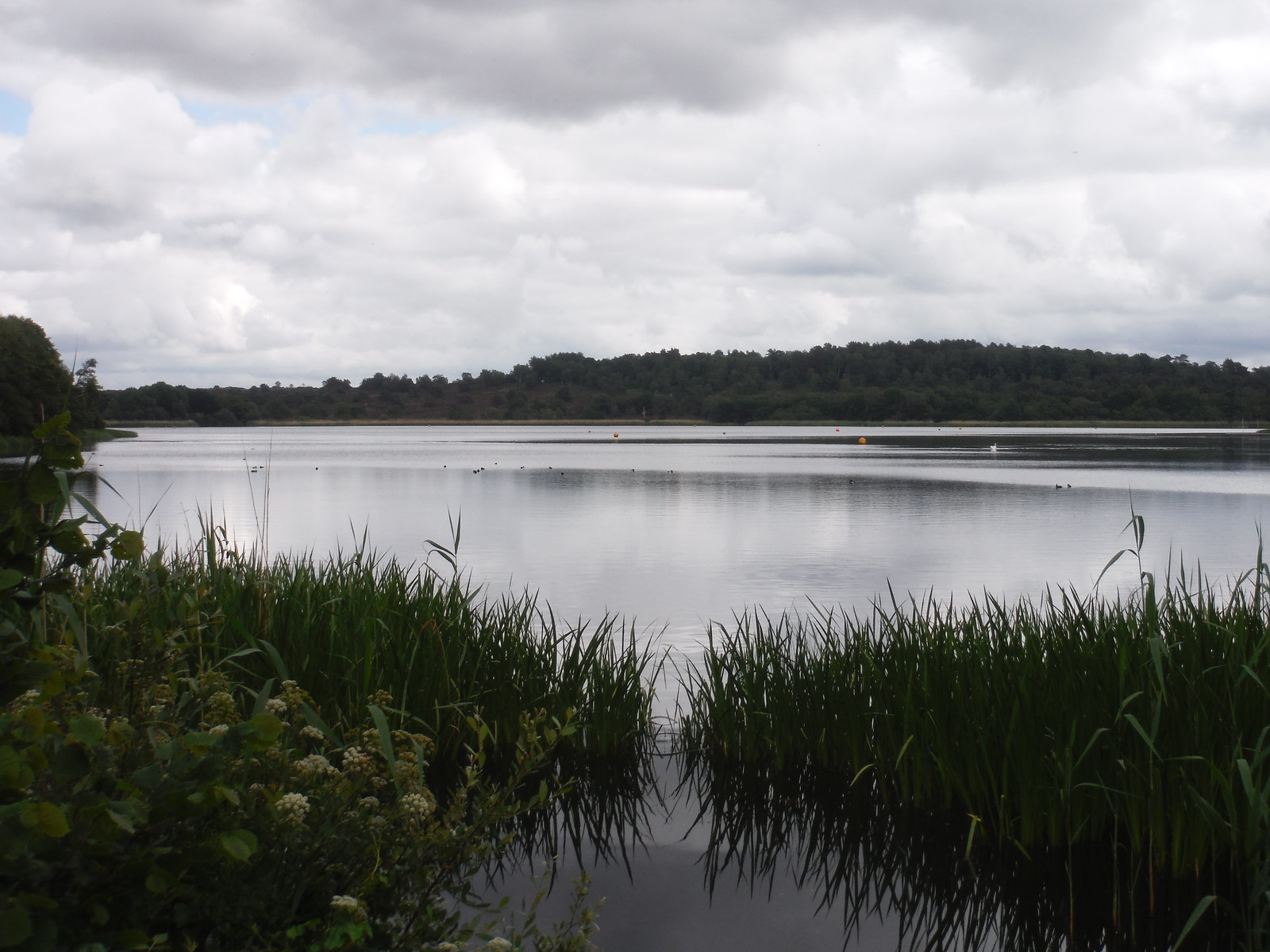 Frensham Great Pond SWC Walk 184 - Bentley to Farnham