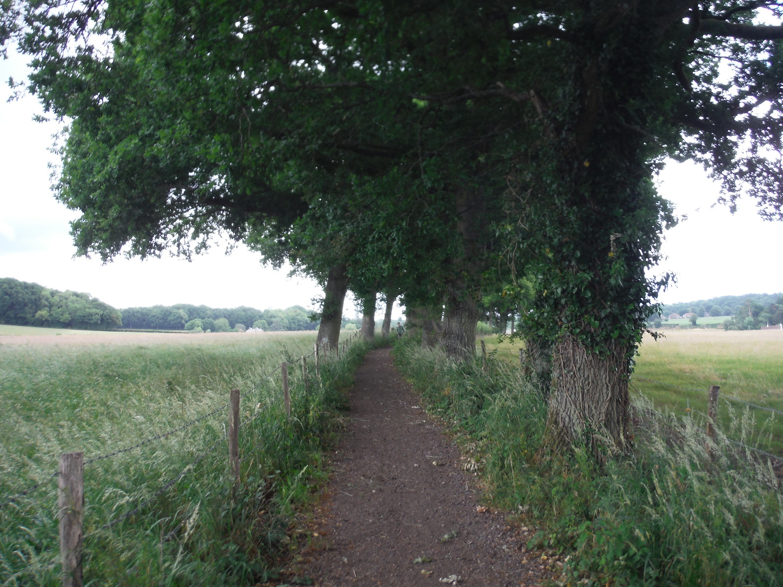 Tree-lined Bridleway SWC Walk 184 - Bentley to Farnham
