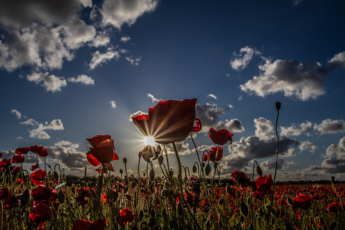 poppies poppy poppyfield sun sky cloud flower wildflower nature landscape westmidlands uk greatbritain canon canoneos canon80d canonuk