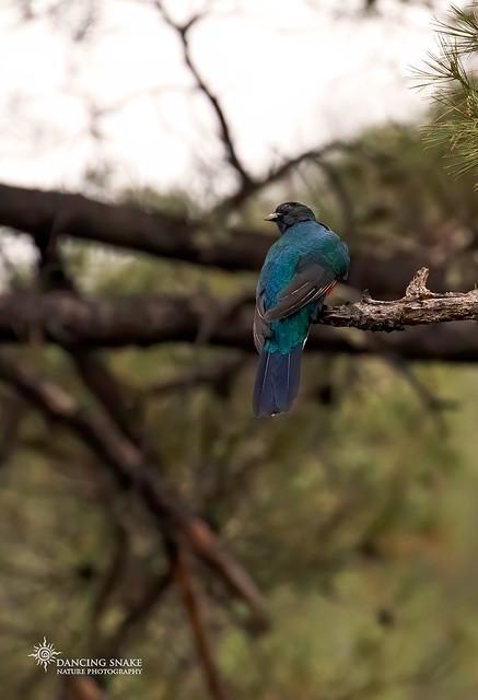 _45A8545 Eared Quetzal ©Dancing Snake Nature Photography
