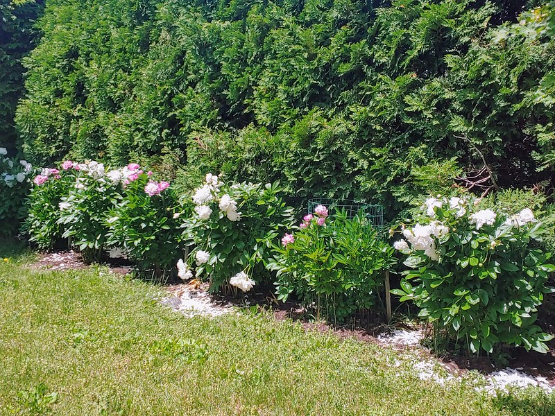 Peonies filling in their cages