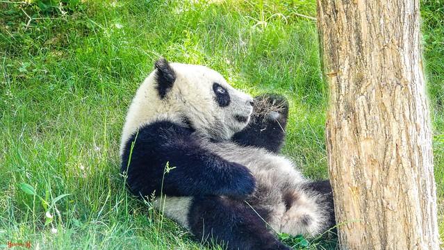 Baby Panda - 8552