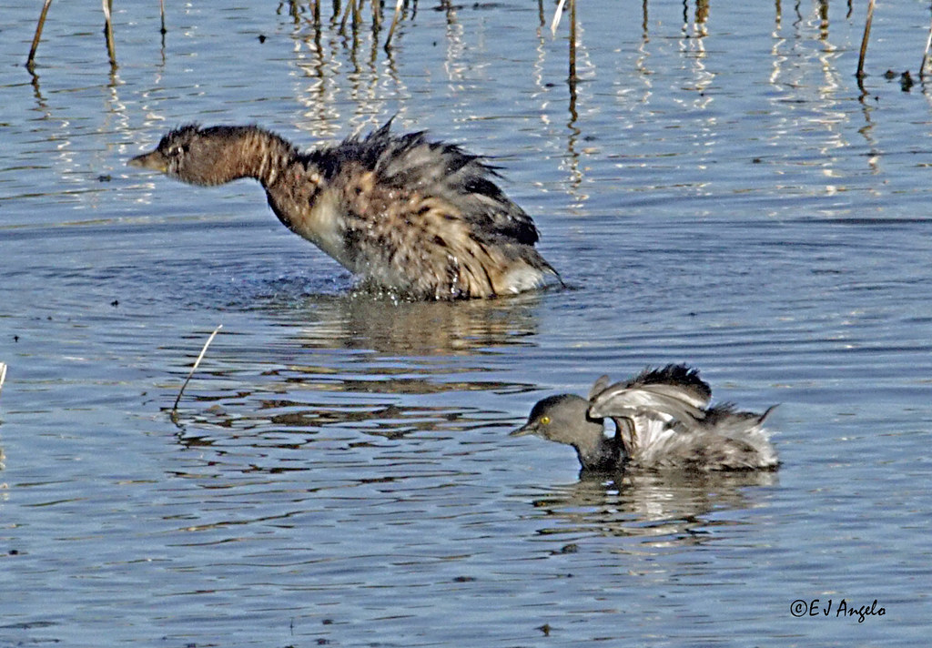 Pied-billed Grebe - Least Grebe_3294