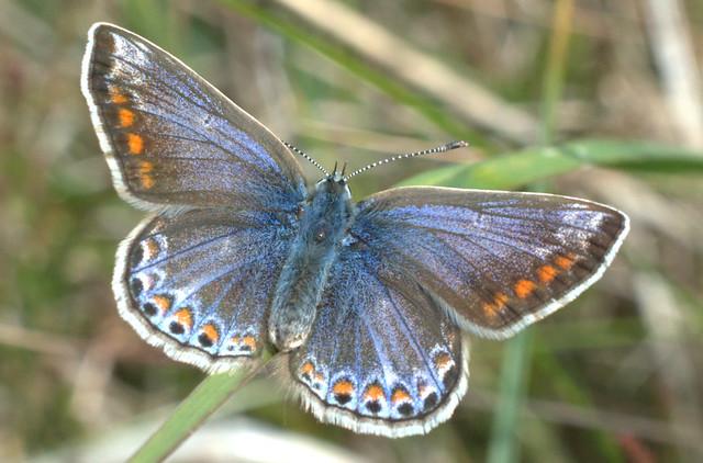 Common Blue Butterfly(fem)