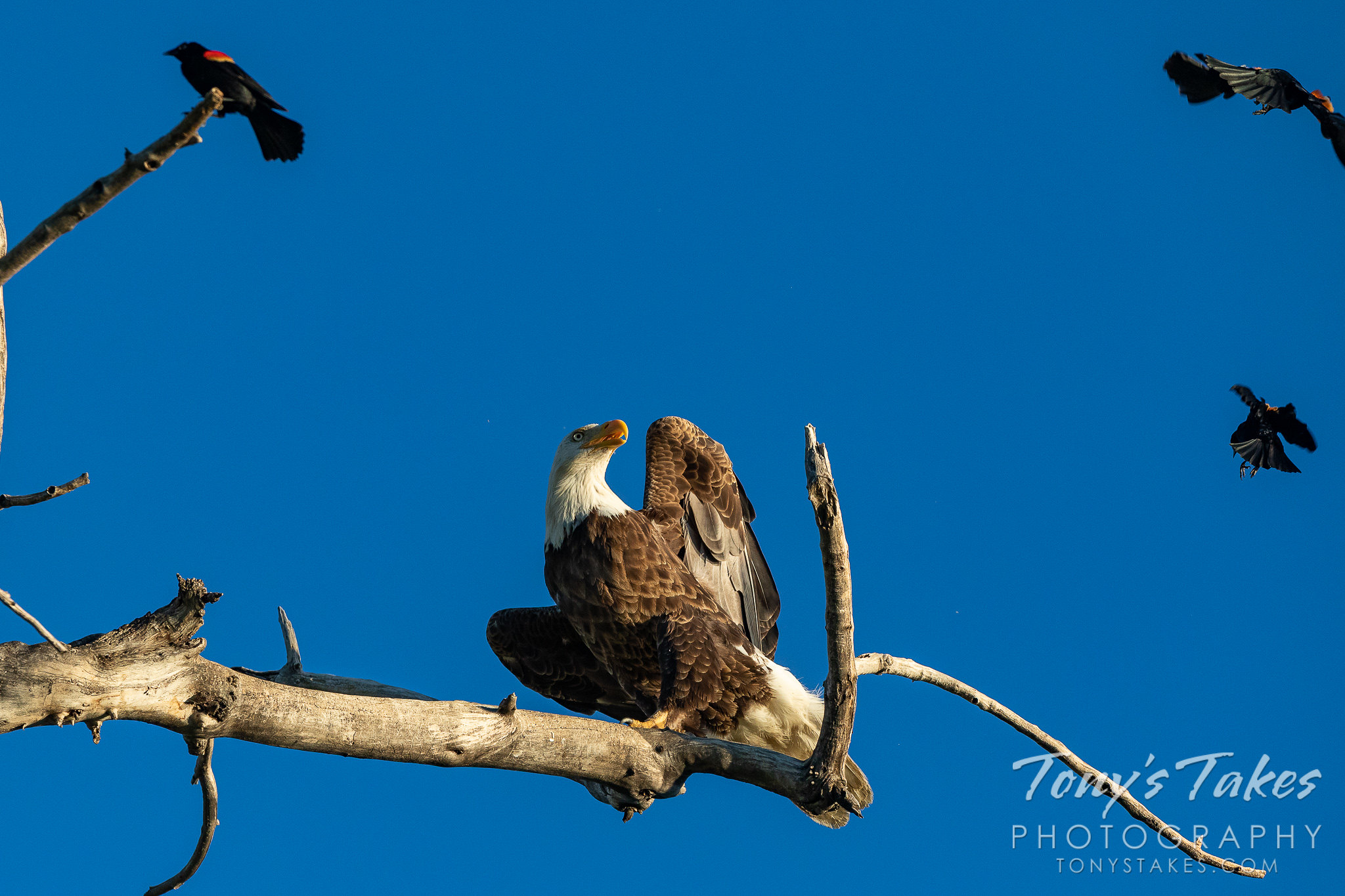 A bald eagle gets hassled by red-winged blackbirds. (© Tony's Takes)