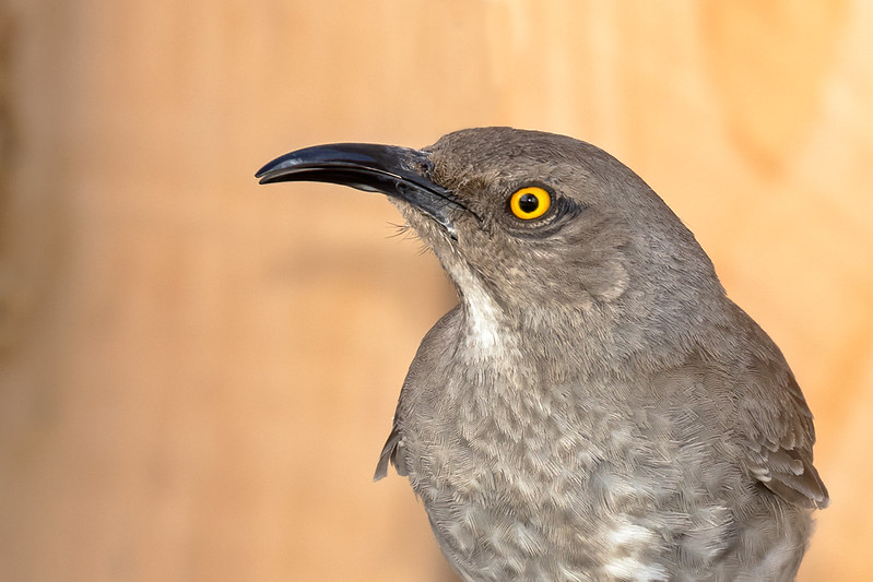 Curve-billed-Thrasher-1-7D2-061420