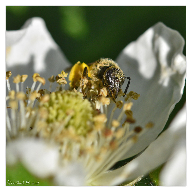 Bee on Cultivated Blackberries 2/
