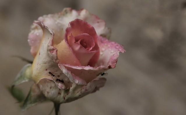 « Chaque rose a son épine, sa beauté, son essence »