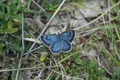 Large Blue 5