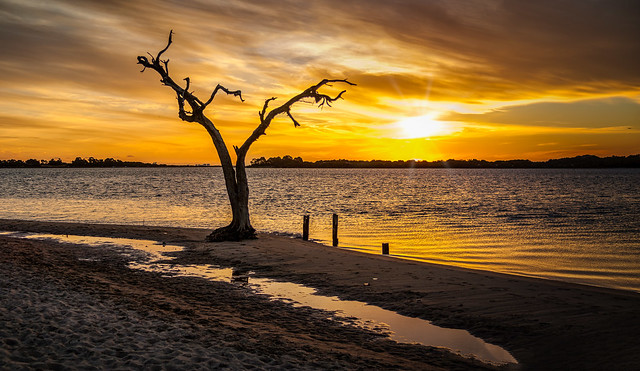 Lone Tree at Pelican Point