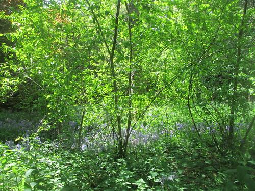 bluebells, Balbirnie, Fife