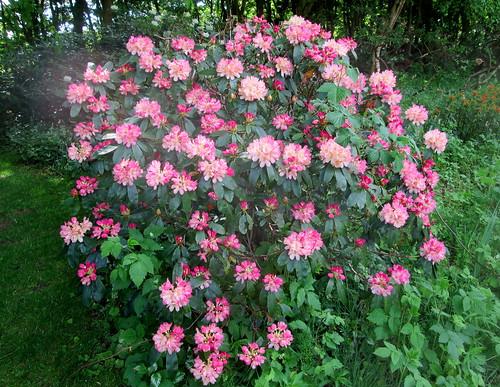 Balbirnie, Rhododendron