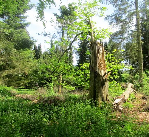 Broken Tree, Balbirnie